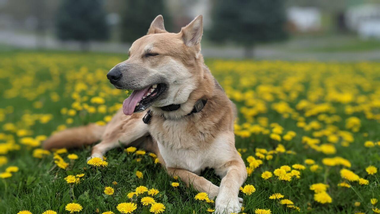 A Happy Dog in a field of dandelions